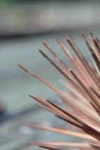 dead sea urchin (3)