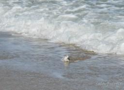 Sanderling on the hunt in the surf