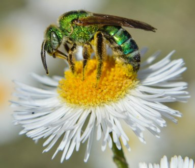 Halictid Bee (2)