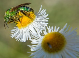 Halictid Bee (3)
