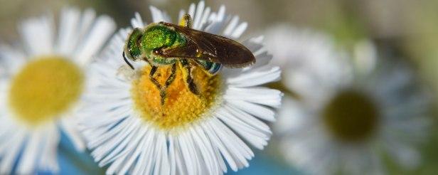 Halictid Bee (5)