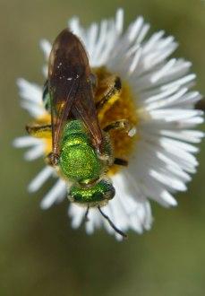 Halictid Bee (6)