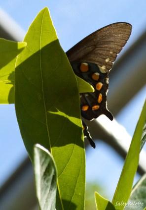 Naples BG Butterflies (6)