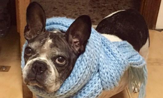 La Bulldog francés llamada Wilma ha sido sometida a dos cirugías por un tumor cerebral. / Hospital AÚNA