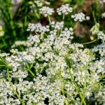 Cultive la Alcaravea y Adiós Problemas Digestivos