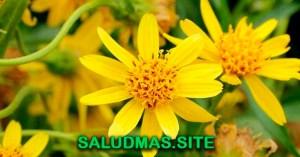 Propiedades De La Árnica Planta Medicinal