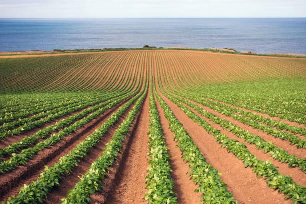campo de patatas