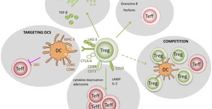 Treg (Células T, qué son, cuál es su función)