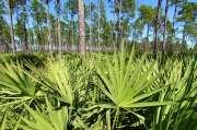 Beneficios de la Palma Enana Americana