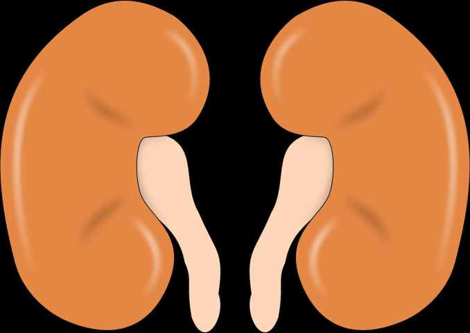 riñones renal renales riñón