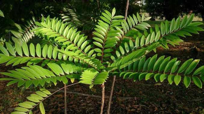 Dosis, beneficios, propiedades y efectos de la Eurycoma longifolia, Tongkat Ali