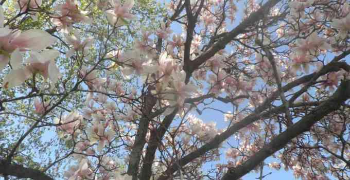 Beneficios para la salud de Magnolia officinalis, Efectos