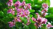 ¿Cuáles son los beneficios del árbol Banaba y sus efectos en la salud?