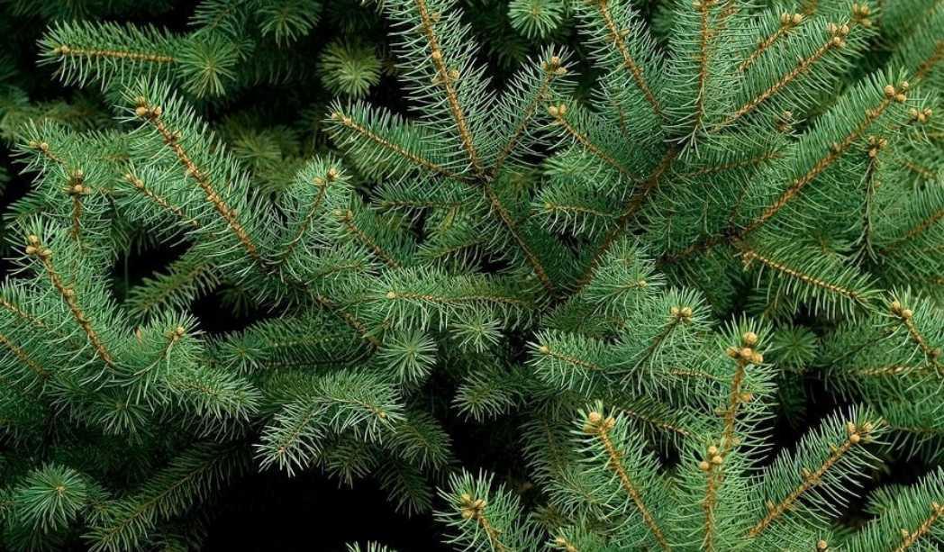 Pycnogenol (extracto de corteza de pino): usos y beneficios ...