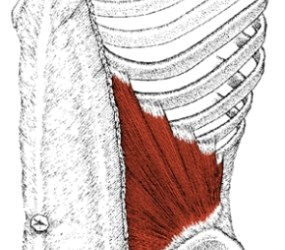 Abdominal Internal Oblique Muscle