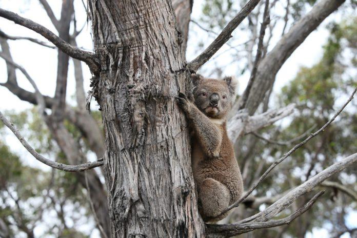 I koala sopravvissuti ritornano a vivere nel loro habitat naturale •