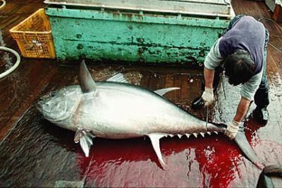 Uno de los últimos atunes sangrando por la codicia humana
