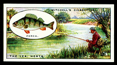Perch Cigarette Card
