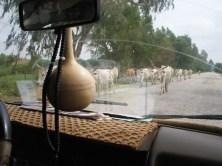 Des zébus sur la route de N'Gohé