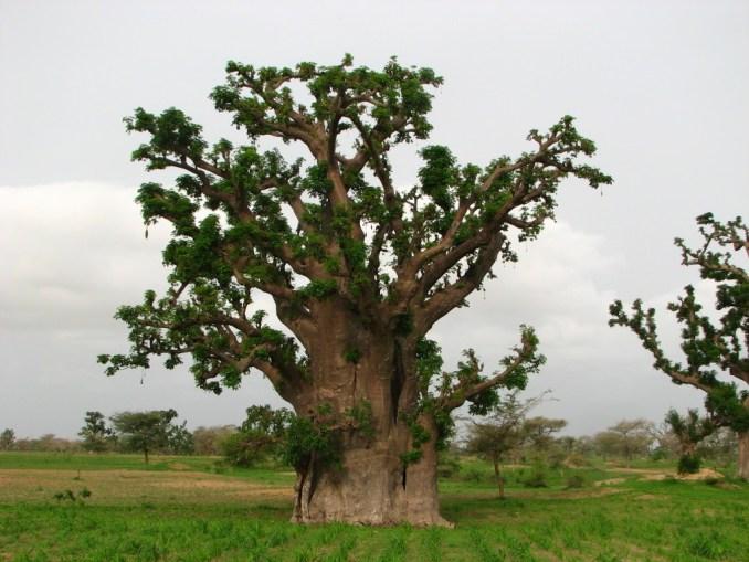 Un baobab pour rendre hommage à Éliane