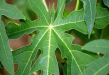 पपीते के पत्ते papaya leaf benefits papita ke fayde