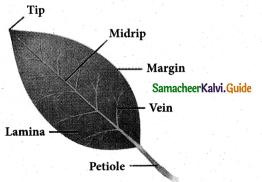 Samacheer Kalvi 5th Science Guide Term 2 Chapter 3 Plants 13