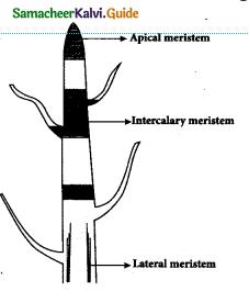 Samacheer Kalvi 9th Science Guide Chapter 18 Organization of Tissues 4