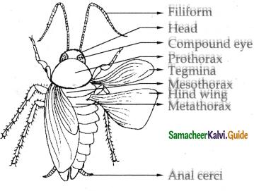 Samacheer Kalvi 11th Bio Zoology Guide Chapter 4 Organ and Organ Systems in Animals 11