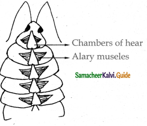 Samacheer Kalvi 11th Bio Zoology Guide Chapter 4 Organ and Organ Systems in Animals 14