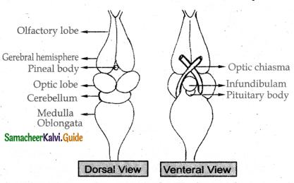 Samacheer Kalvi 11th Bio Zoology Guide Chapter 4 Organ and Organ Systems in Animals 20