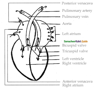 Samacheer Kalvi 11th Bio Zoology Guide Chapter 7 Body Fluids and Circulation 10