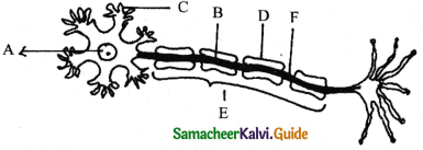 Samacheer Kalvi 11th Bio Zoology Guide Chapter 10 Neural Control and Coordination 2
