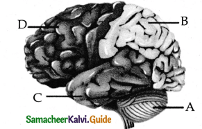Samacheer Kalvi 11th Bio Zoology Guide Chapter 10 Neural Control and Coordination 6