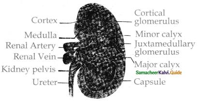 Samacheer Kalvi 11th Bio Zoology Guide Chapter 8 Excretion 18