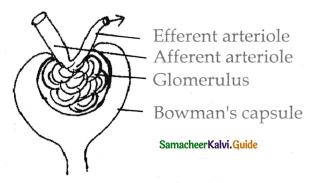 Samacheer Kalvi 11th Bio Zoology Guide Chapter 8 Excretion 4
