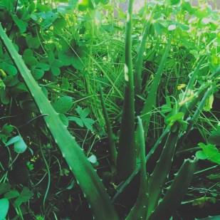 fresh aloe vera plant