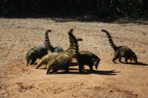 The cunning Coati - harrassing tourists for scraps of food, Iguazu Falls, Argentina