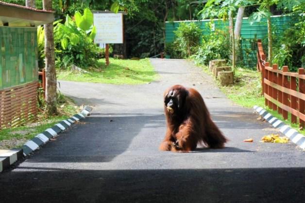 Edwin the orangutan at Semenggoh Wildlife Centre