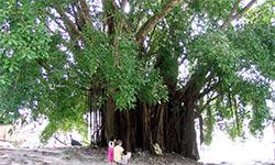 Balete Tree
