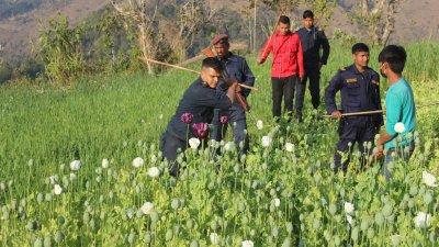 अफिम खेती नष्ट
