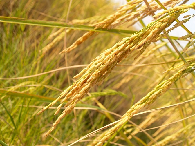 Researchers identify phenotype to boost 'nitrogen use efficiency' in rice