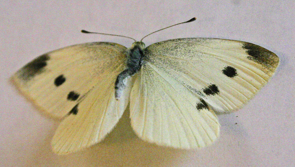 Visitor at Dawn (Cabbage Butterfly, Pieris rapae)