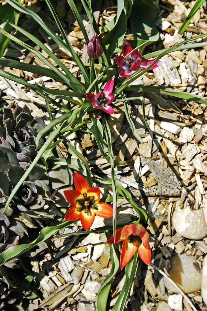 Dwarf Tulips