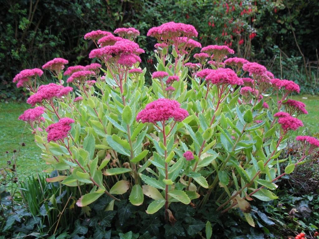 Fiori Tappezzanti Per Aiuole pervinca per piante rampicanti piccola. materiale di