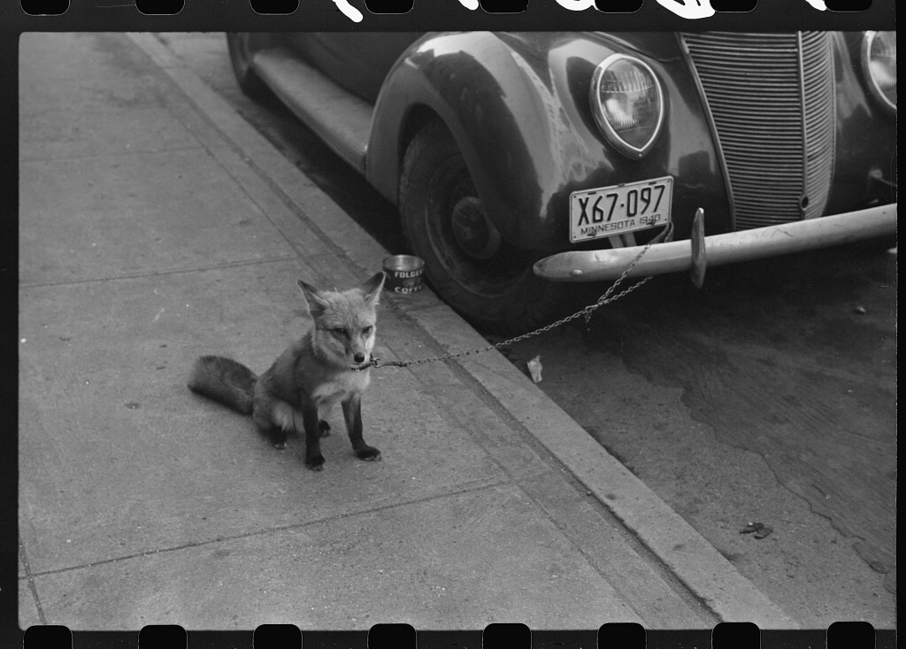 Fox Chained to a Car 36