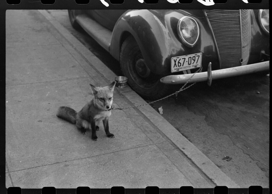 Fox Chained to a Car 1