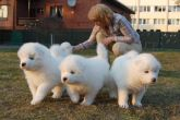 Samoyed puppies 17