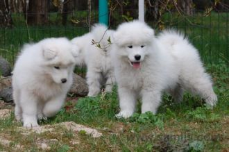 Samoyed puppies 9