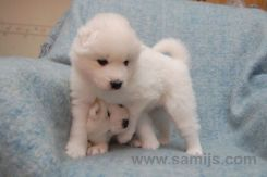 samoyed pappies 17