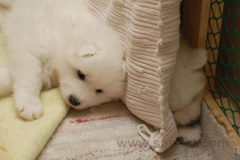 samoyed pappies 9